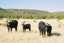 Image of cattle